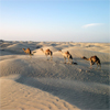 Camels in the desert of the Sultanate of Oman